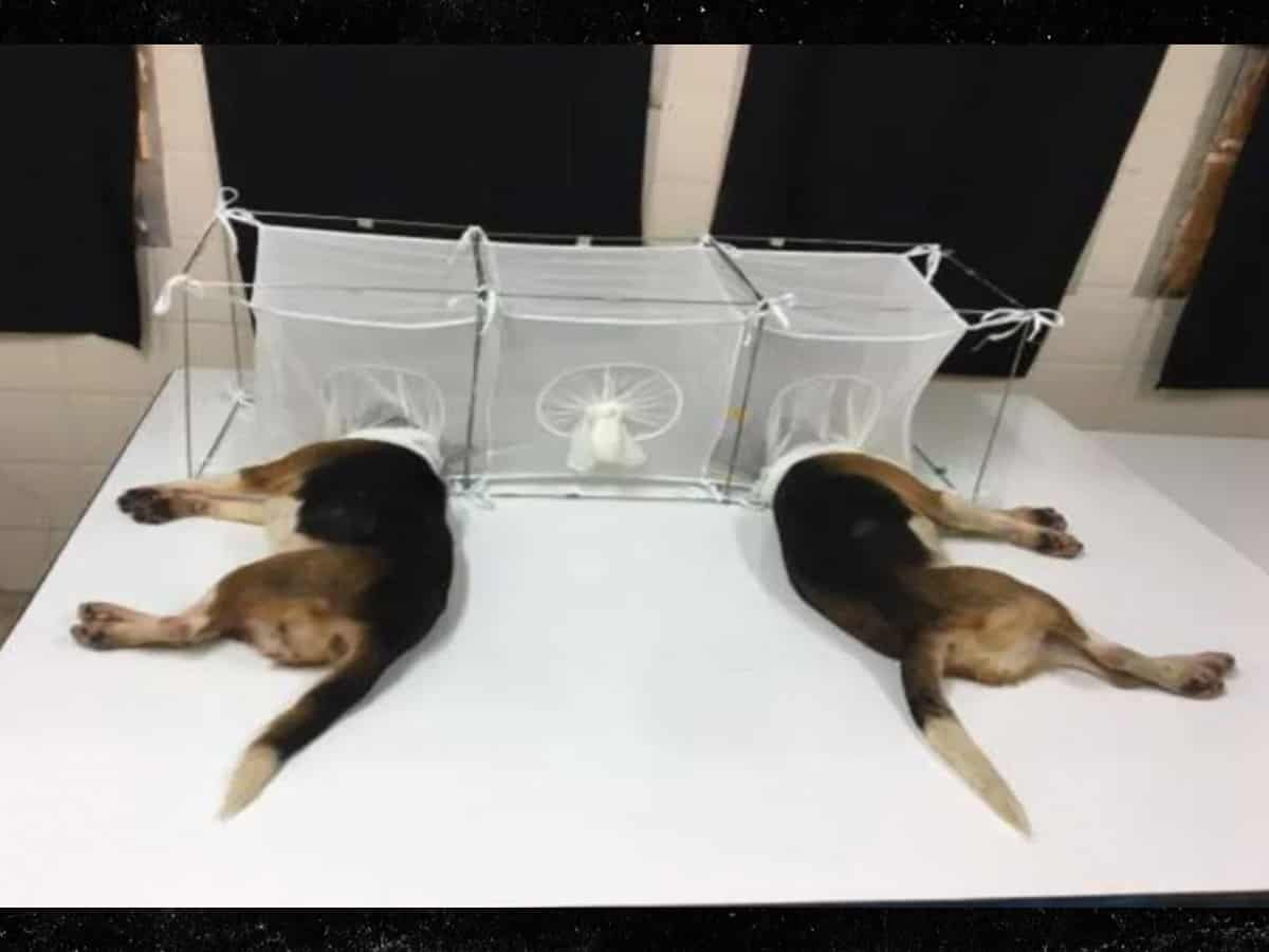 Fauci under fire for 'dog experiments' in which beagles were eaten alive by sandflies